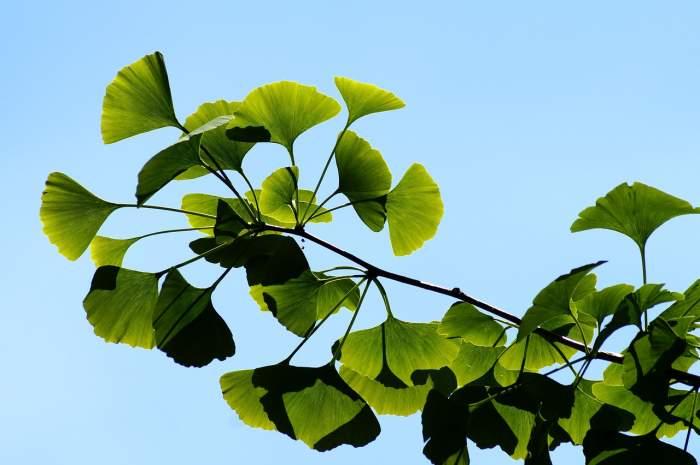 10 proprietăți terapeutice ale copacului ornamental Ginkgo Biloba
