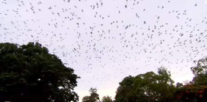 Panică în Australia. O tornadă de lilieci a invadat un întreg oraş VIDEO