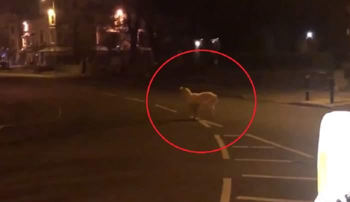 Efect inedit al pandemiei! Oamenii se izolează, animalele sălbatice iau cu asalt străzile. Imagini senzaționale / VIDEO