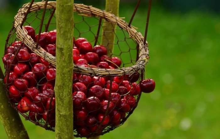 Cireșele românești au apărut, dar nici urmă de cumpărători! Pandemia de COVID-19 îi ține la distanță de fructele mult dorite