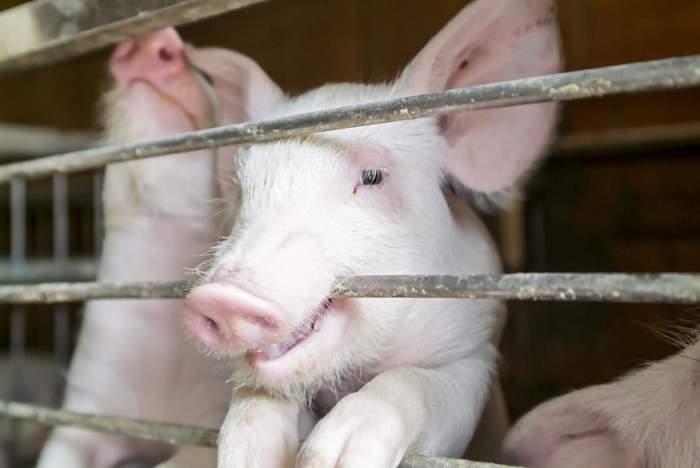 Imagini incredibile! Un porc cu două capete s-a născut în gospodăria unei familii, iar localnicii l-au privit ca un semn în pandemia de coronavirus
