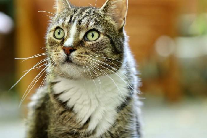 A fost depistat primul caz de coronavirus la o pisică! Ce simptome prezintă patrupedul din Marea Britanie