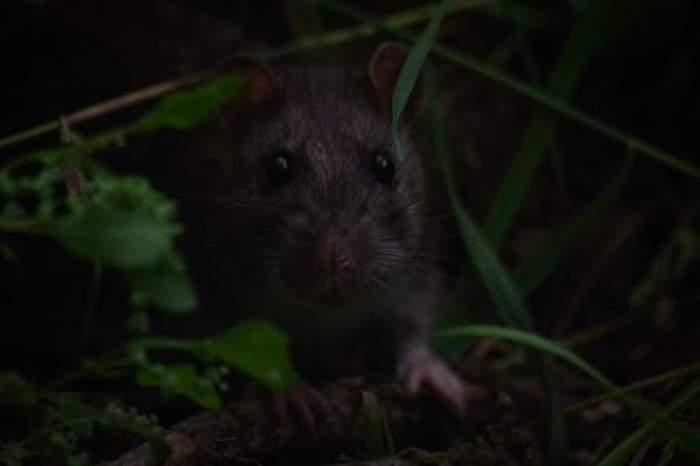Ce a făcut un șobolan ca să fie premiat cu o medalie de aur. Distincția este o înaltă decorație dată animalelor