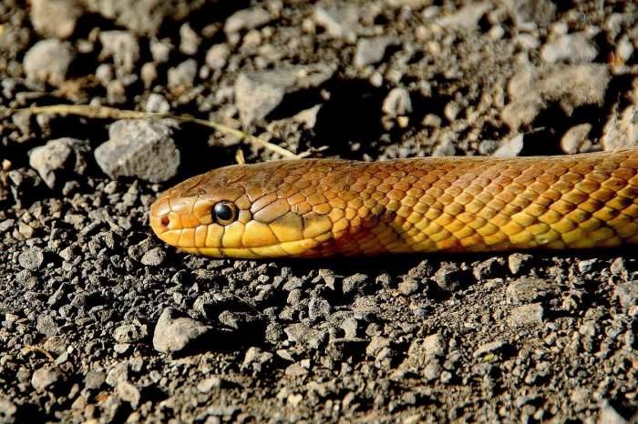 Un șarpe maro pe pământ