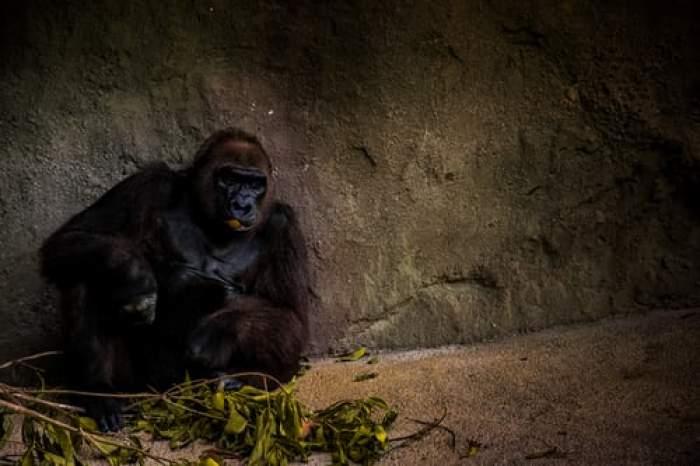Femeie intubată după ce a fost bătută de o gorilă. Victima îngrijea animalul de 19 ani