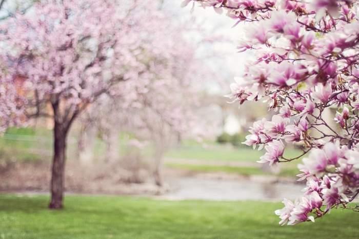 Pomi înfloriți pe câmpie