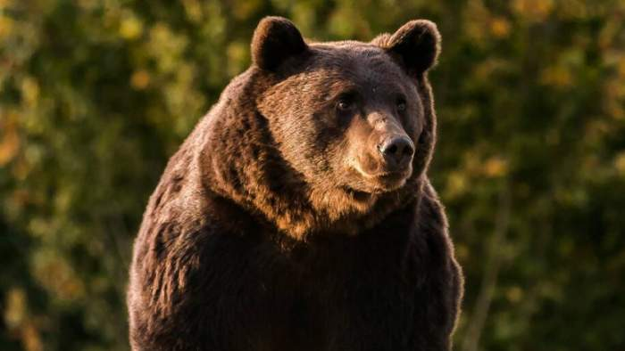 Se vor recolta probe ADN pentru identificarea ursului Arthur. Anunțul făcut de ministrul Mediului