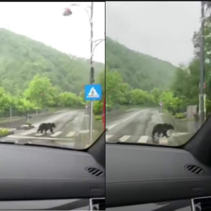 Un urs traversează regulamentar pe trecerea de pietoni în Sinaia. Care a fost reacția participanților la trafic când l-au văzut / VIDEO