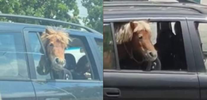 Imagini uluitoare la Iași! Un cal a fost plimbat cu mașina, pe banchetă, alături de doi copii. Șoferul l-a legat de scaun ca să nu sară pe geam