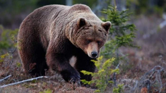 Un bărbat din Sălaj a stat o noapte întreagă într-un copac. Se temea de un urs care l-a fugărit prin pădure