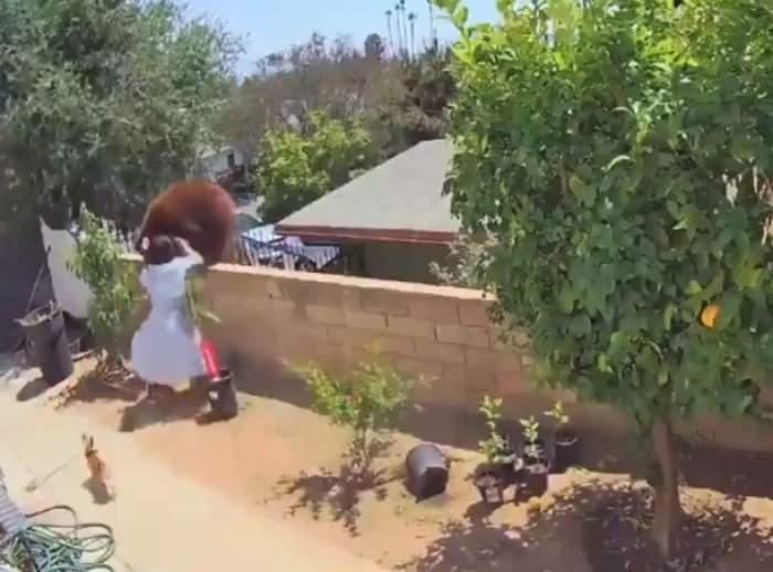 O adolescentă s-a luptat cu o ursoaică pentru a-și salva câinii. Mamiferul avea pui / VIDEO