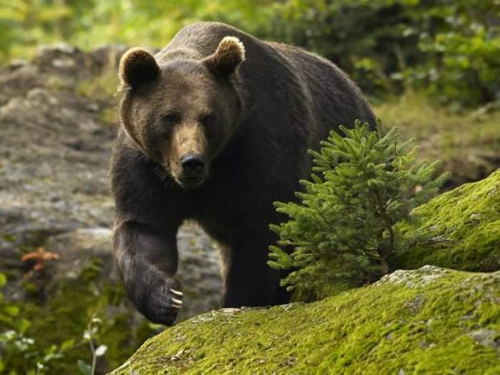 O ursoaică și puii ei au devastat bucătăria unui hotel din Tușnad. Jandarmii și polițiștii au transmis un semnal de alarmă