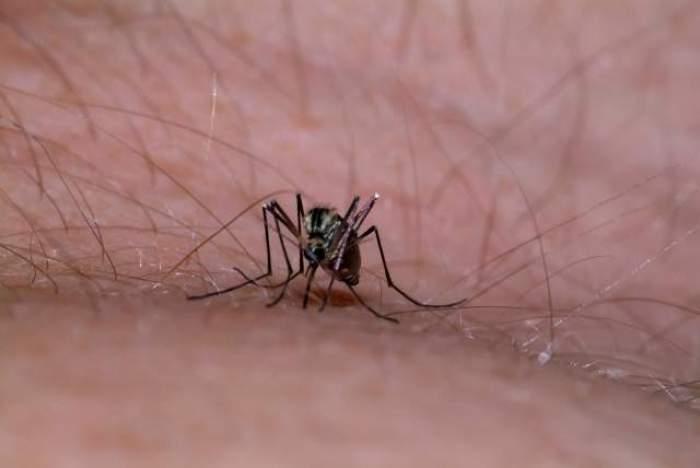 Țânțar surprins pe pilea unei persoane