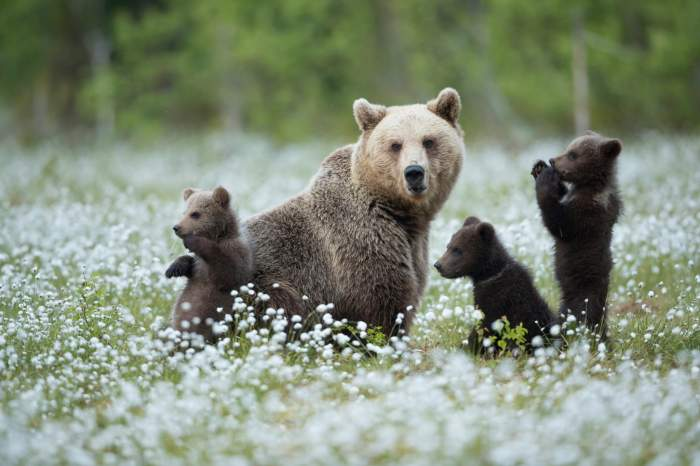 Un cioban din Mureș, în vârstă de 80 de ani, a fost omorât de urs. Trupul neînsuflețit a fost găsit cu o dronă