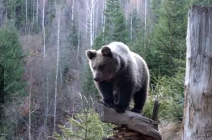 Un urs prin pădure, pe o stâncă