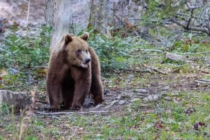 Un urs prin pădure