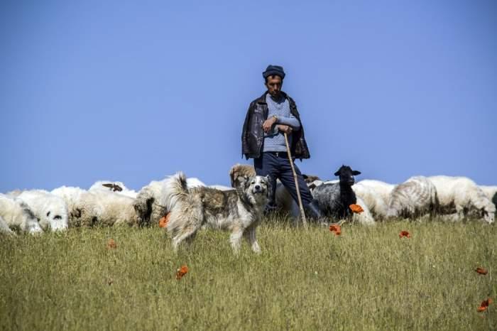 un cioban cu oi