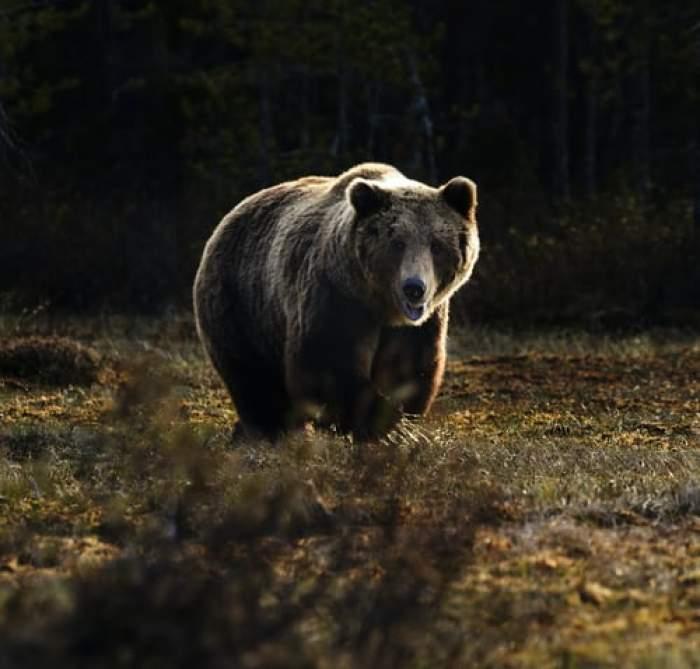 Un cioban beat a sunat la 112 și a mințit că este atacat de un urs. Reacția polițiștilor când au ajuns la fața locului