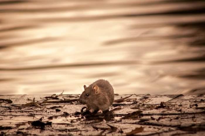 șobolan pe stradă