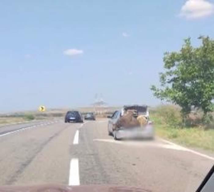 Un șofer a înghesuit în portbagajul său o vacă și un berbec. Participanții din trafic au rămas șocați