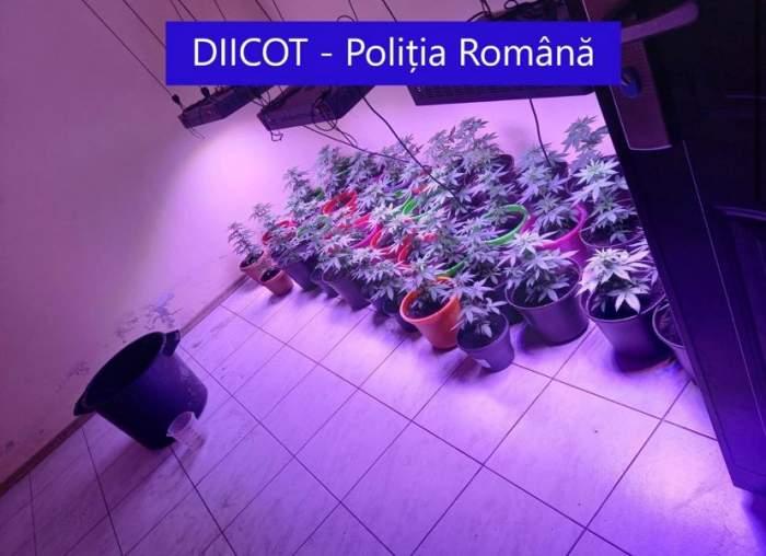 Peste 200 de plante de cannabis, confiscate în 3 județe din țară. Ofițerii DIICOT au deschis proces verbal / FOTO