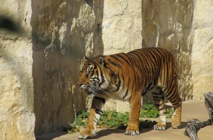 """Scene de groază în Chile! O îngrijitoare de la un parc safari a fost ucisă de un tigru: """"Calvarul femeii a fost scurt"""""""