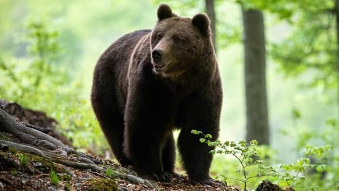 Decizie aprobată de Senat! Un nou proiect de lege permite împușcarea urșilor agresivi